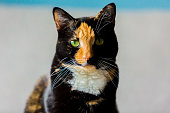 Beautiful calico tortoiseshell tabby cat sitting on a couch