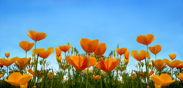 Beautiful California poppy wildflowers and blue sky in nature close-up macro. The landscape is large-format, copy space, cool blue tones.