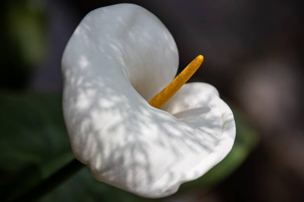Schöne Calla-Lilienblume im Garten in Dharamshala – Foto
