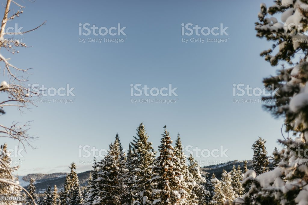 Cold Forest in Winter Season Snow