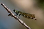 Beautiful Calopteryx splendens female on a branch of a tree  summer with golden wings in the first rays of the sun above the river
