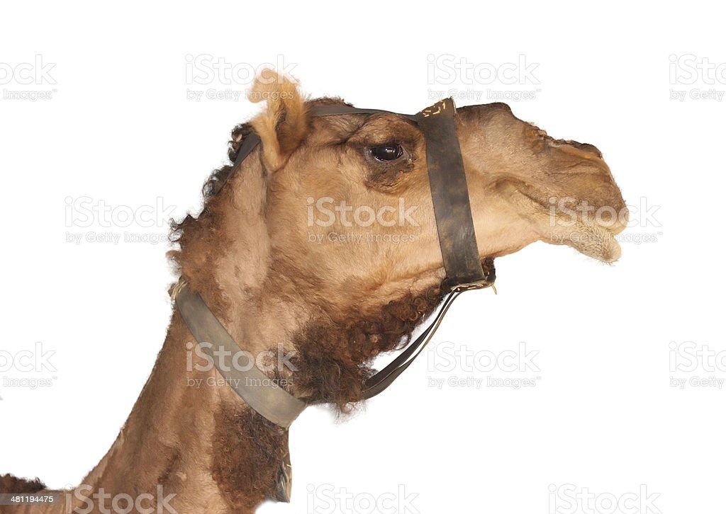 Beautiful camel royalty-free stock photo
