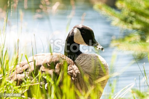 istock A beautiful Canada goose that cleans its plumage. She looks at nature and relaxes in the sun. She is next to the water. 1298004464