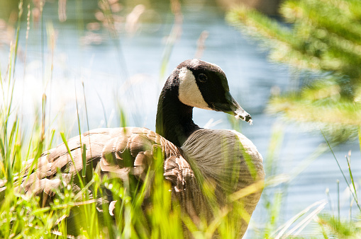 Canada goose at the pageau refuge in Amos, Abitibi.