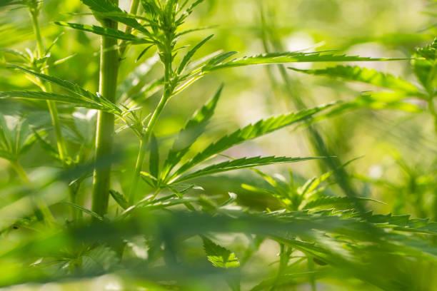 A beautiful cannabis growing in the garden. Hemp leaves closeup. stock photo