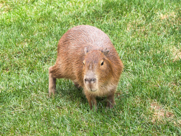 Beautiful Capybara walking on the grass stock photo