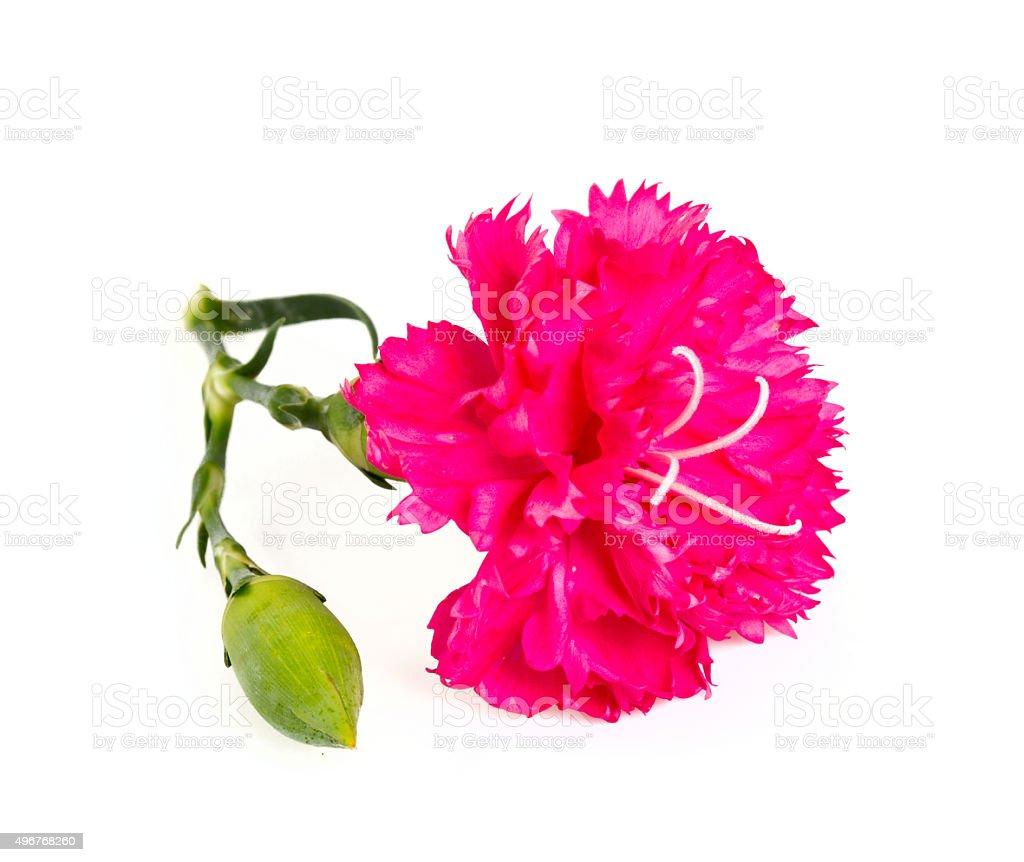 beautiful carnation flower isolated on white stock photo