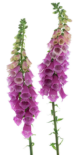 Beautiful cascading colors of the foxglove flower picture id178280653?b=1&k=6&m=178280653&s=612x612&w=0&h=dhl fs5aggduxiuftwhkitdomg7wlnv2qpx2j5gin48=