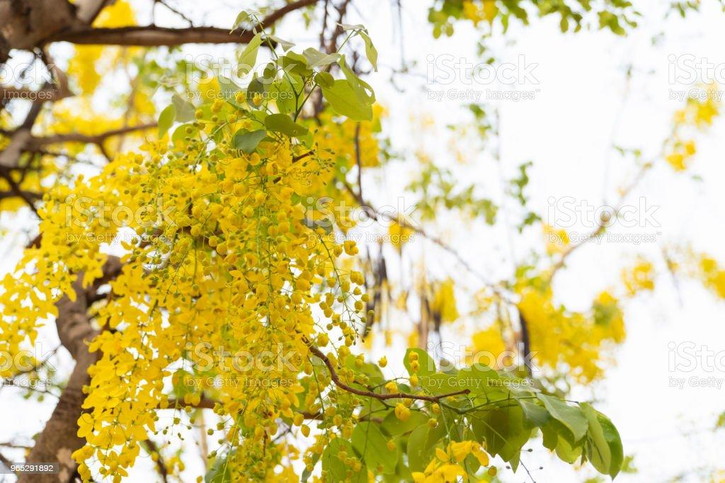 Beautiful cassia fistula flower on white sky background. zbiór zdjęć royalty-free