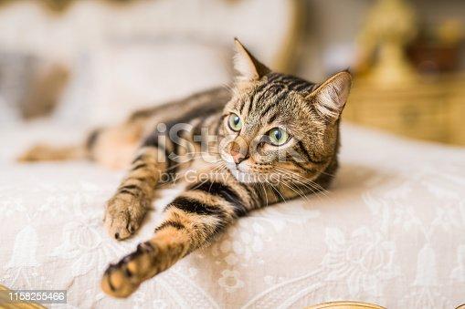 istock Beautiful cat at home 1158255466