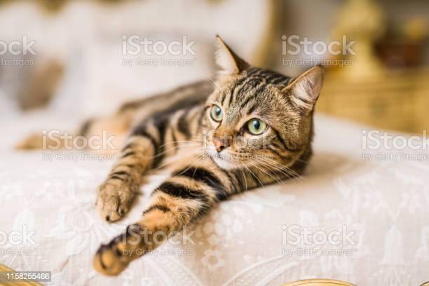 Beautiful cat at home picture id1158255466?b=1&k=6&m=1158255466&s=612x612&h=sniasudga h 1azkiw4vbm52fgjzulqdhgezc3o9p4y=