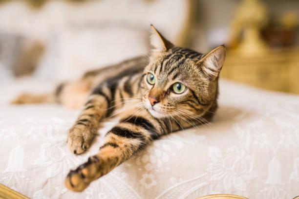 vacker katt hemma - katt inomhus bildbanksfoton och bilder