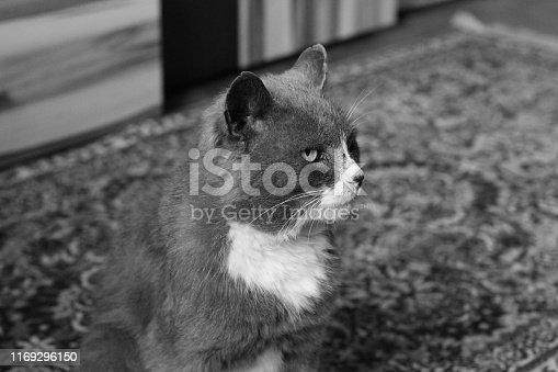 543560840 istock photo Beautiful cat. Black and white photo 1169296150