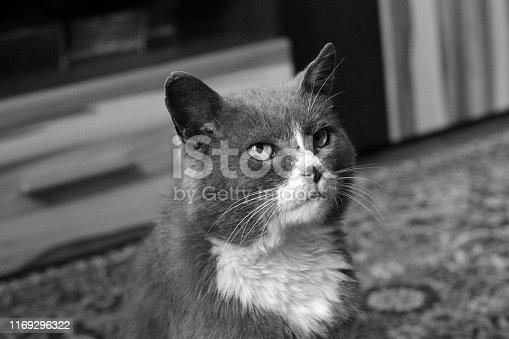 543560840 istock photo Beautiful cat. Black and white photo 1169296322