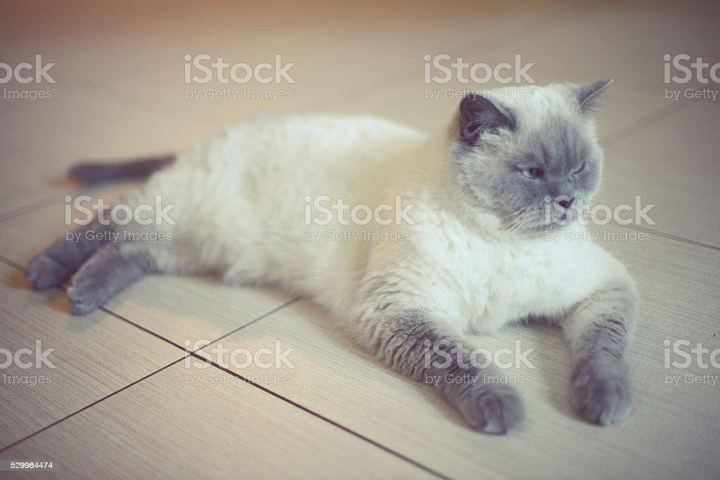 beautiful cat breed British Shorthair lying on the floor stock photo