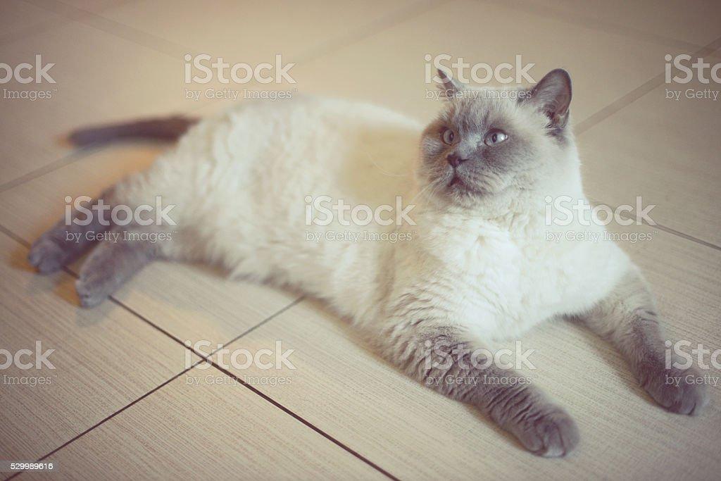 beautiful cat breed British Shorthair stock photo