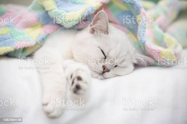 Beautiful cat breed scottish straight chinchilla sleeping picture id1062594146?b=1&k=6&m=1062594146&s=612x612&h=eelxjczq6qsfi1dfib2ddstjnefmvrwordfsskt38uq=
