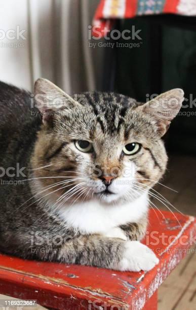 Beautiful cat closeup gray cat picture id1169323687?b=1&k=6&m=1169323687&s=612x612&h=bcdncofpkgdgnkzznhl7w296efpaunxprfairxjpswa=
