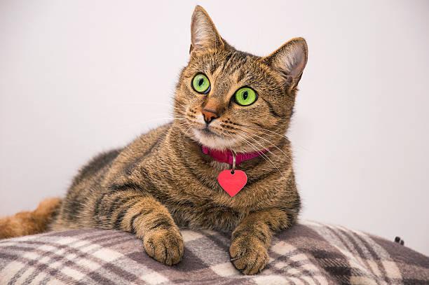 beautiful cat lying on the blanket - halsband stock-fotos und bilder