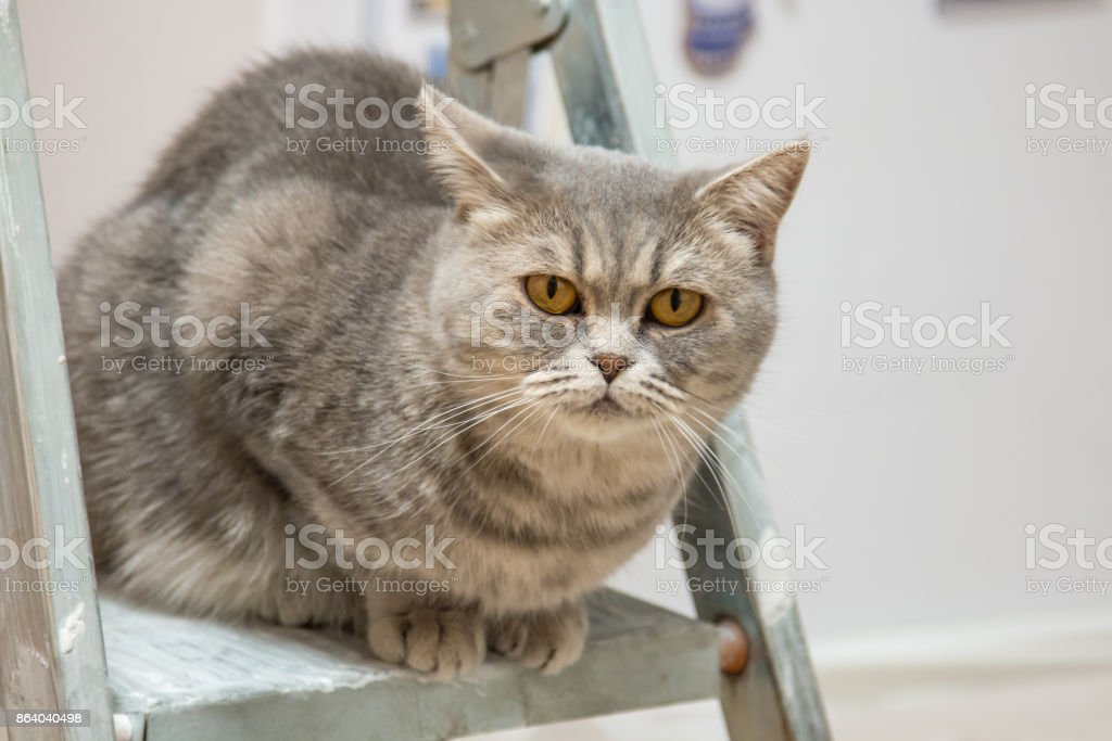beautiful cat of breed British Whiskas sits on the stepladder and looks at the repair work stock photo