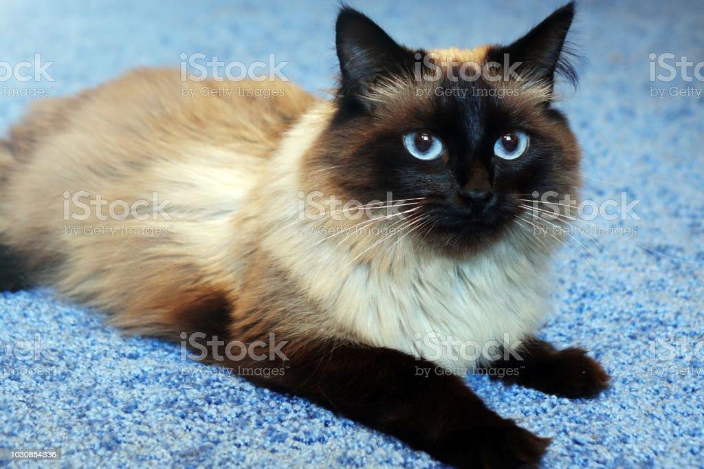 Lindo gato sobre um fundo azul. - foto de acervo