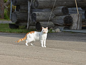 Beautiful cat on leash near wooden cottage in forest