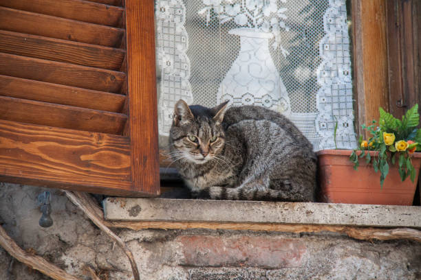 beautiful cat  on the windows - batalina italy стоковые фото и изображения