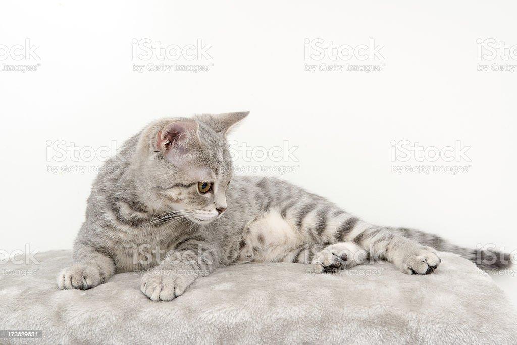 beautiful cat royalty-free stock photo