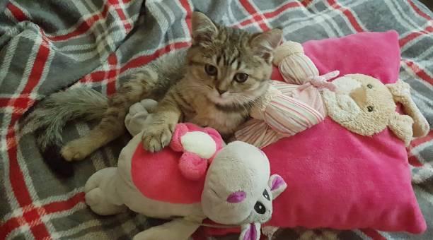 beautiful cat - batalina cats стоковые фото и изображения