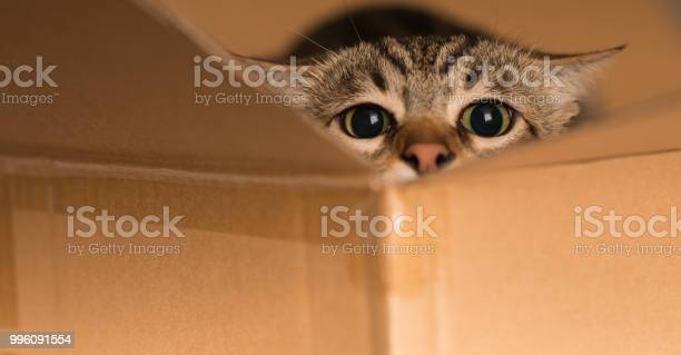 Beautiful cat playing hide and seek in a cardboard box picture id996091554?b=1&k=6&m=996091554&s=612x612&h=9nkbuevy9 qmi9nt9cxczlkssymhiaistjnv3bkjdiq=