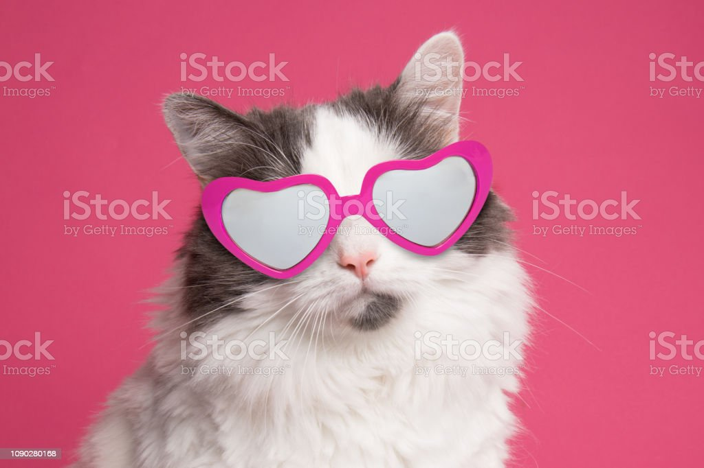 Beautiful Cat Portrait on Pink in Heart Glasses A portrait of a beautiful white and gray longhair cat wearing heart shaped sunglasses on a pink background. Animal Stock Photo