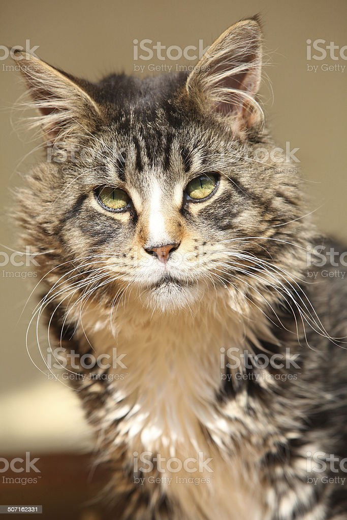Beautiful cat sitting and looking at you royalty-free stock photo