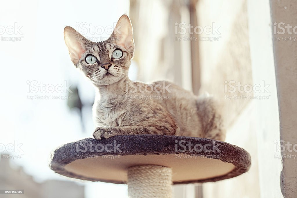 Beautiful cat sitting on the scratching post royalty-free stock photo