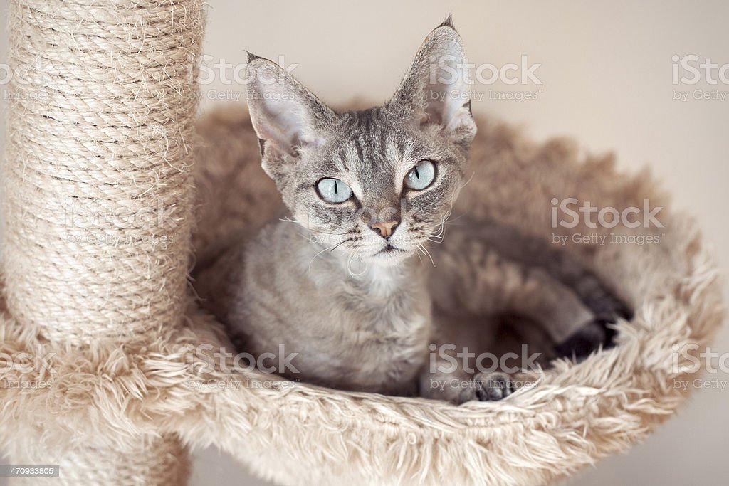 Beautiful cat sitting on the scratching post - Royalty-free Adult Stock Photo