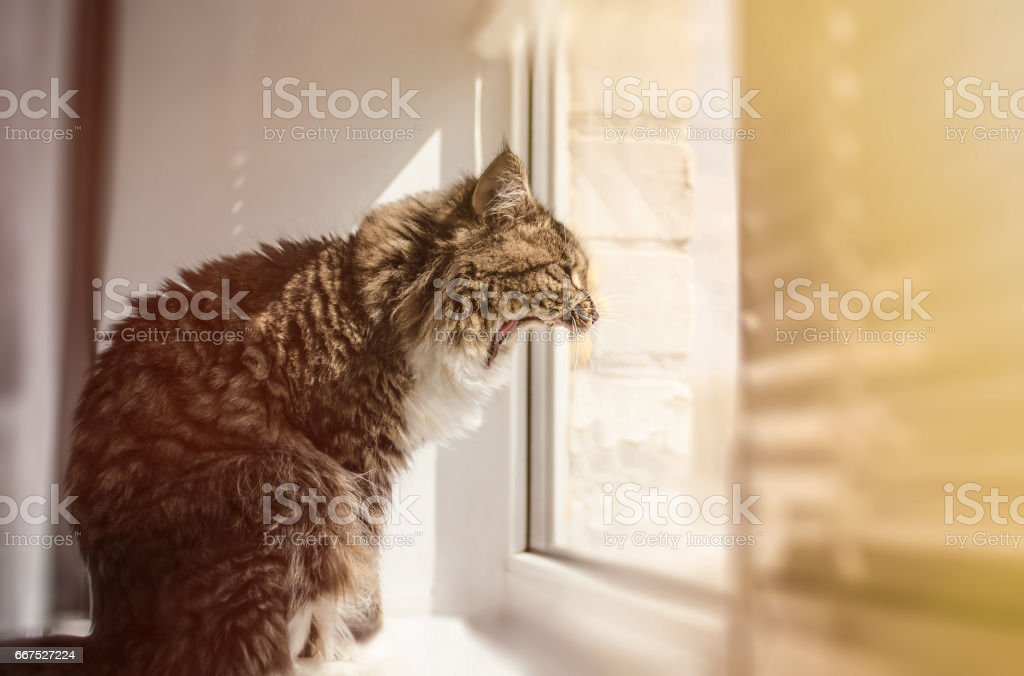 Beautiful cat sitting on window sill to yawn and looking out of a window foto stock royalty-free