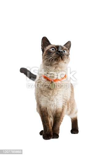 A beautiful cat stands and looks up. Thai breed. The background is isolated.
