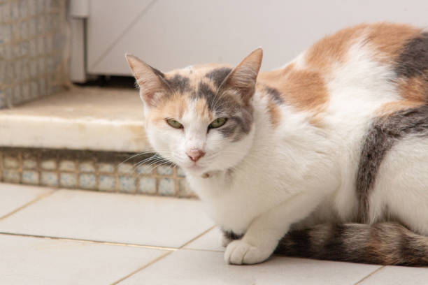 Beautiful cat with a body in white and caramel color sitting looking picture id1218631589?b=1&k=6&m=1218631589&s=612x612&w=0&h=og892zjkqna49 4oeyhdre65ga60 xvx1vvtu0vdngi=