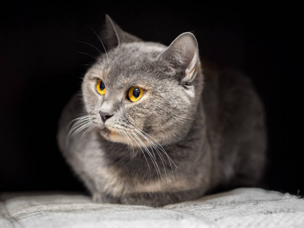 Beautiful cat with a mysterious smile and yellow eyes stock photo