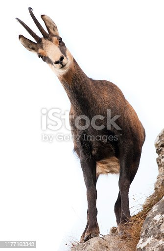 beautiful chamois goat looking at camera. isolated