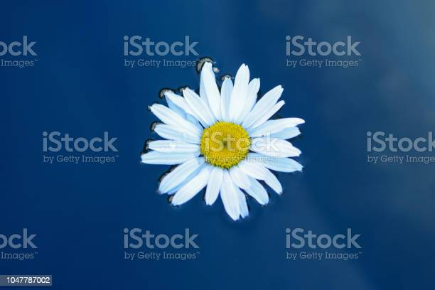 Beautiful chamomile flower in a flowing water of a relaxing photo one picture id1047787002?b=1&k=6&m=1047787002&s=612x612&h=mifve0nniwm2su0rrqdz kpsea rb0komquoximbmlk=