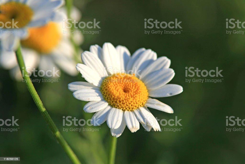 Beautiful Chamomile flower royalty-free stock photo