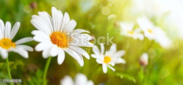 678639336 istock photo Beautiful chamomile flowers in meadow. 1211431016