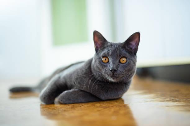 schöne chartreux katze auf dem boden - karthäuserkatze stock-fotos und bilder