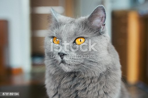 Four years old Chartreux cat sitting on the table in living room