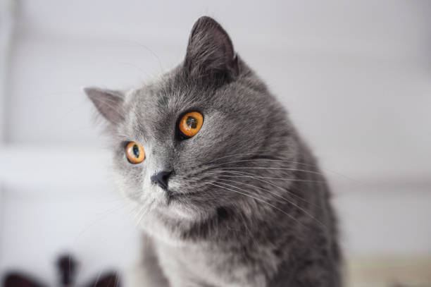 schöne chartreux katze - karthäuserkatze stock-fotos und bilder