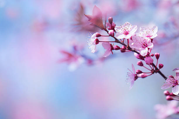 beautiful cherry blossom - sakura background stock photos and pictures
