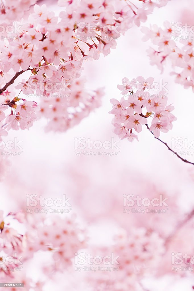 Beautiful Cherry Blossom stock photo
