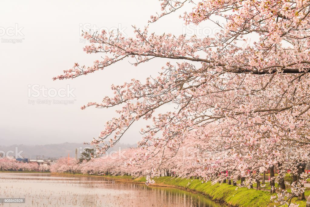 Beautiful cherry blossom , sakura  in spring time (Soft focus and blur style)  of Muramatsu Park in spring time, Niigata Prefecture,Japan. stock photo