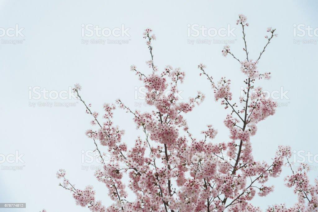 Bahar zaman içinde mavi gökyüzü içinde güzel kiraz çiçeği sakura. royalty-free stock photo