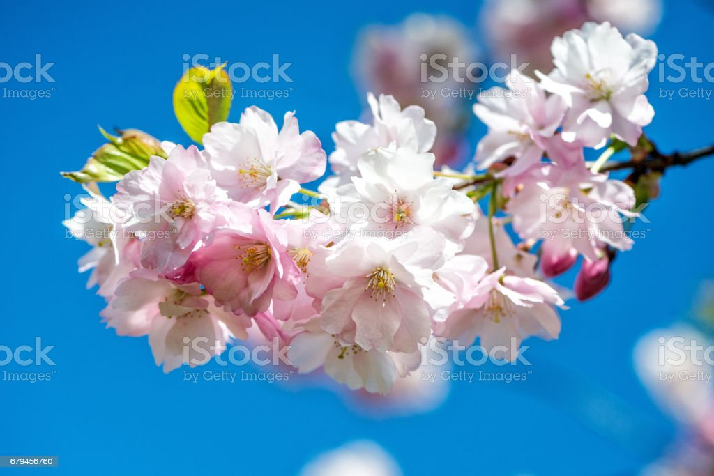 Beautiful cherry blossom sakura in spring time over blue sky. royalty-free stock photo